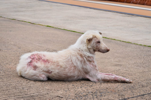 scabies on dogs